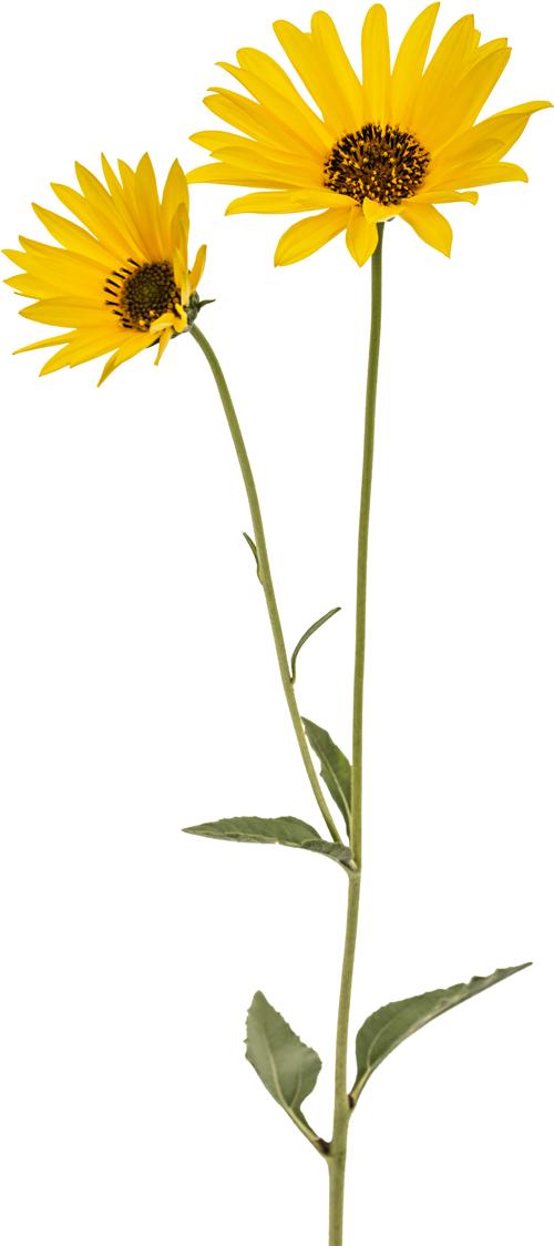 Blume Links