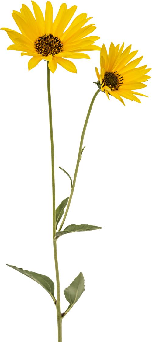 Blume Rechts