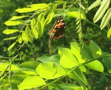 Schmetterlinge-für-die-Bienenwiese-7